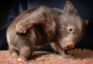 wombat baby